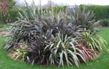 Phormium Bed December 2002