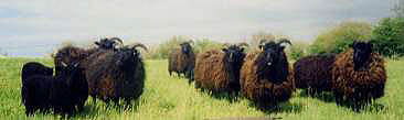 Hebridean sheep at Fernwood